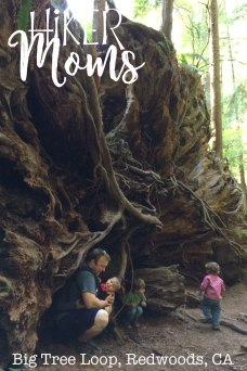 Big Tree Loop, Redwoods, California Image tree root large