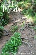 Big Tree Loop, Redwoods, California Image 5Large Tree Root