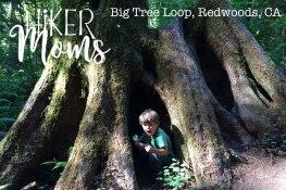 Big Tree Loop, Redwoods, California Image 3 Large Tree Root