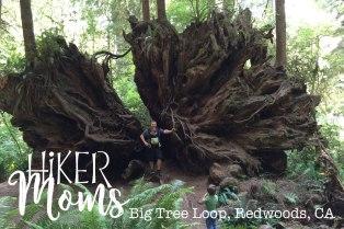 Big Tree Loop, Redwoods, California Image 2 Large Tree Root